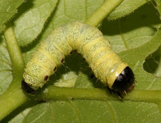 Noctuidae, dorsal - Morrisonia confusa