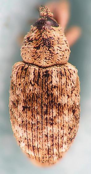 cream speckled Curculionidae  - Smicronyx flavicans