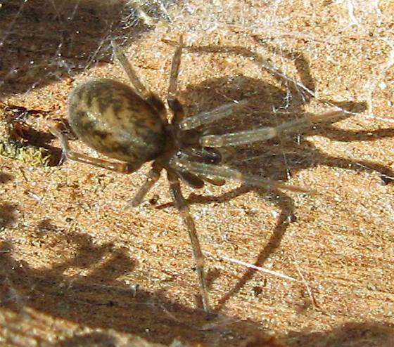 Small Spider Under Log - Metaltella simoni