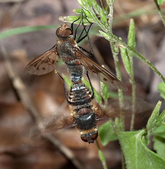 Exoprosopa pueblensis? - Exoprosopa pueblensis - male - female