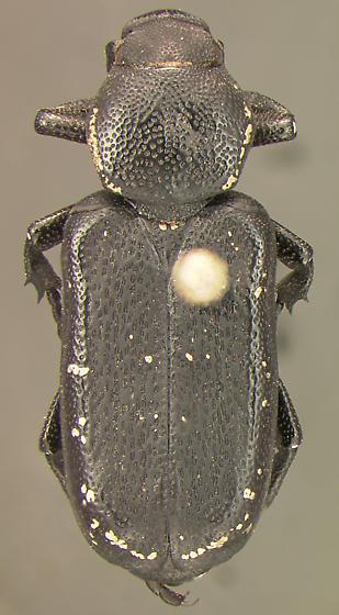 Scarab - Genuchinus ineptus