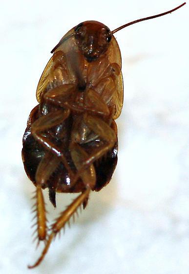 Parcoblatta - Parcoblatta desertae - female