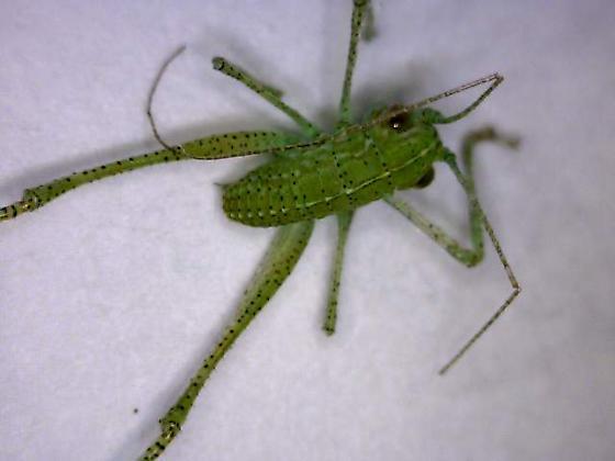 green katydid species? - Microcentrum
