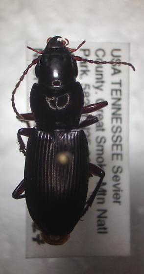 Pterostichus acutipes? - Pterostichus acutipes - female