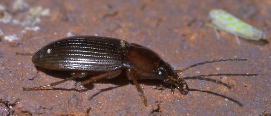 Brown ground beetle - Anatrichis minuta