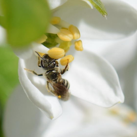 Tiny Dark Bee - Halictus