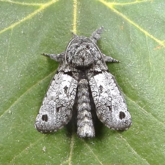 Inguromorpha n-sp - Hodges#2659.97  - Inguromorpha n-sp