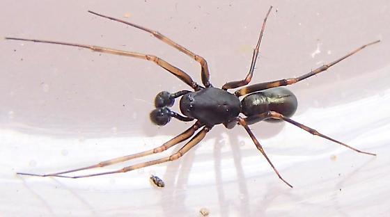 Platform spider? - Neriene clathrata - male