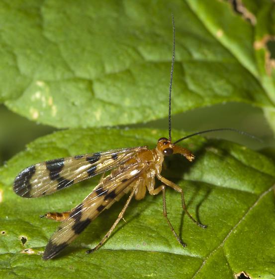 Panorpa - Panorpa helena - female