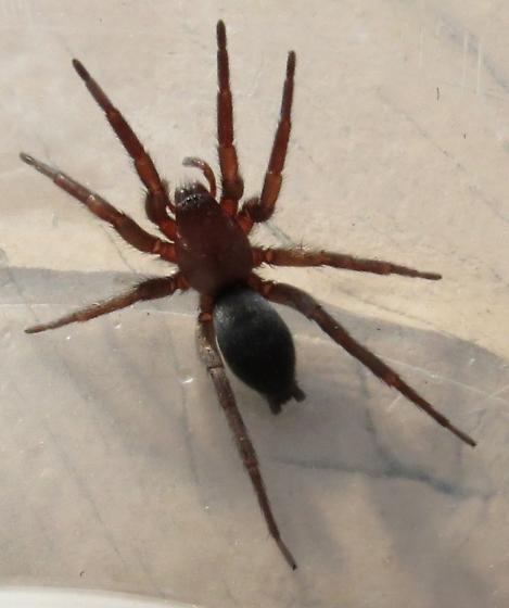 Red-Brown Spider - Scotophaeus blackwalli - BugGuide Net