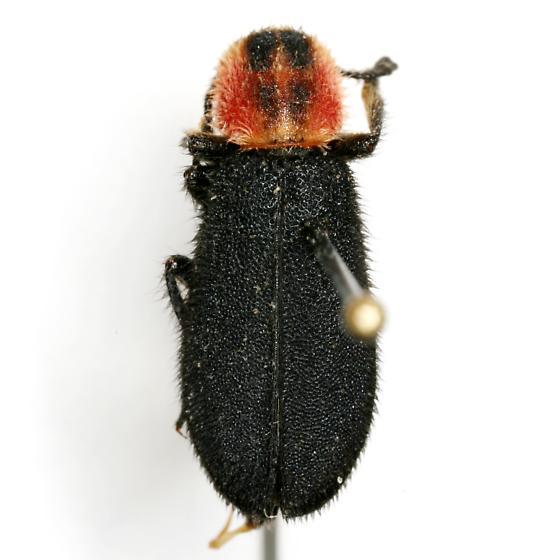 Chariessa pilosa/texana - Chariessa texana - female