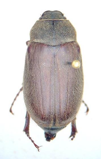 Phyllophaga ilicis - female