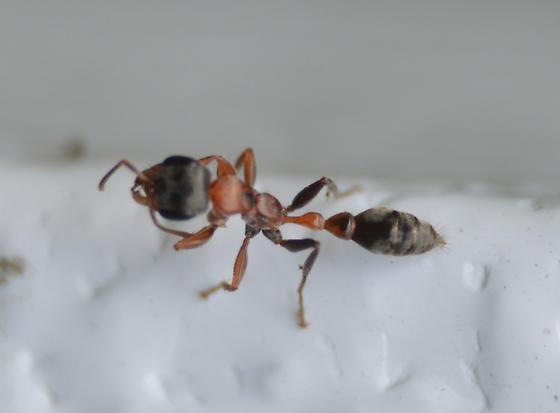 possible Pseudomyrmex - Pseudomyrmex gracilis