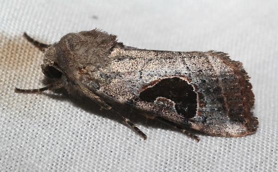 Hypotrix lunata moth - Hypotrix lunata
