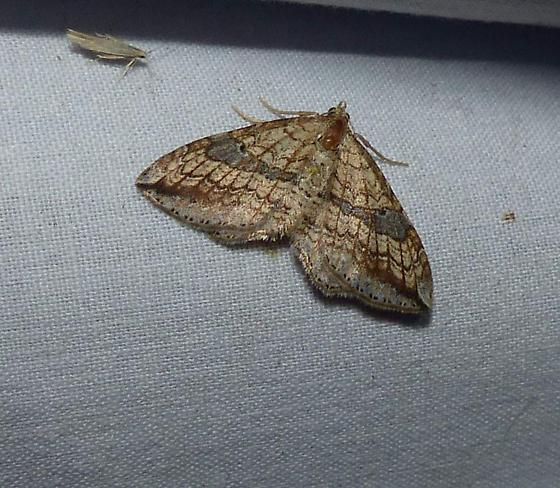 Moth ID - Orthonama evansi
