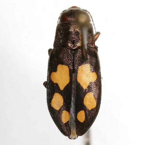 Phaenops piniedulis (Burke) - Phaenops piniedulis