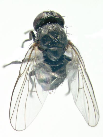 Agromyzidae on Goldenrod - Melanagromyza - female