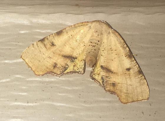 Fervid Plagodis - Plagodis fervidaria