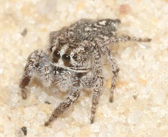 Striking face pattern - Habronattus georgiensis - female