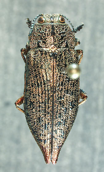 Poecilonota californica Chamberlin, 1922 - Poecilonota californica - male