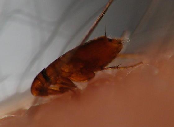NEW FAMILY Ceratophyllidae