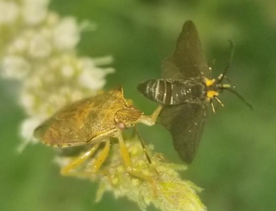Predatory Stink Bug... With success! - Podisus