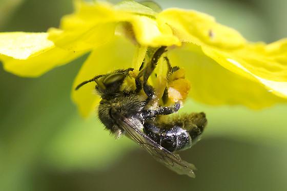 Oil bee - Macropis nuda - female