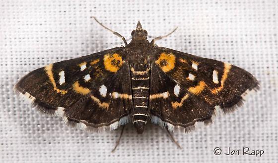Harlequin Webworm Moth - Diathrausta harlequinalis