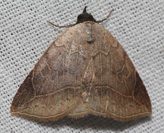 Another Isogona Moth - Isogona segura