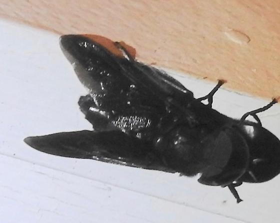 Huge Horse Fly - Tabanus atratus
