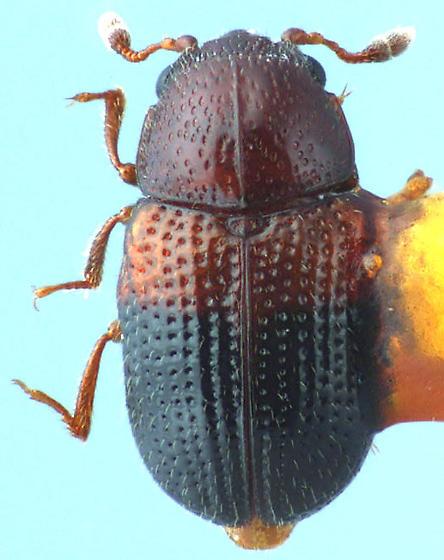 Carinisphindus purpuricephalus
