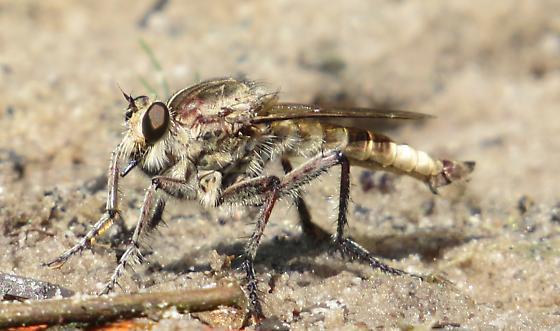 Large robberfly - Triorla interrupta