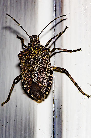 unusual at this time in this area - Halyomorpha halys