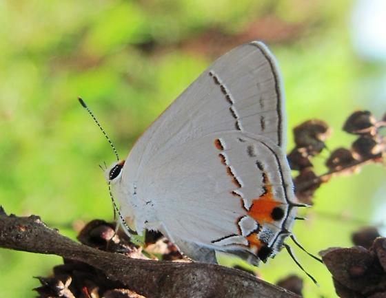 what species? - Strymon melinus - female