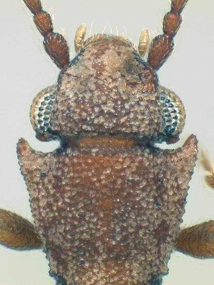 Silvanoprus scuticollis (Reitter) - Silvanoprus scuticollis