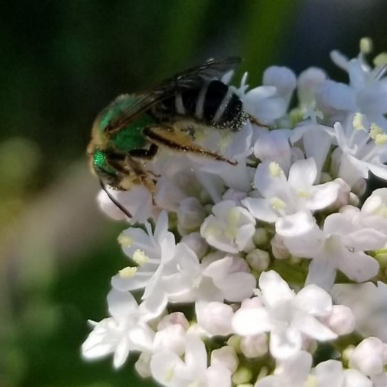 Solitary Bee? - Agapostemon virescens