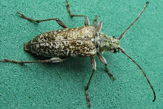 Longhorned Beetle  - Anthophylax attenuatus