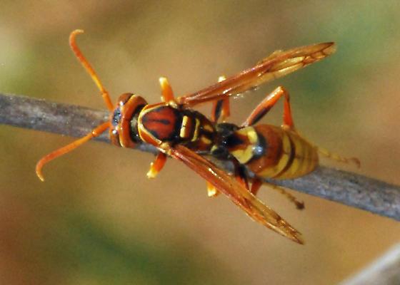 Reallity Check: Is this Polistes dorsalis californicus? - Polistes dorsalis - male