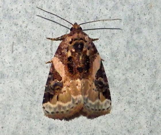 Moth - Pseudeustrotia carneola