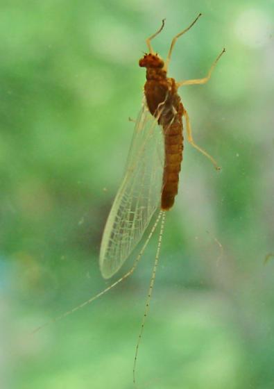 Fly ID-01 - Ephemerella dorothea