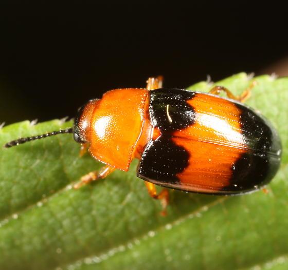 Orange & black beetle - Triplax festiva