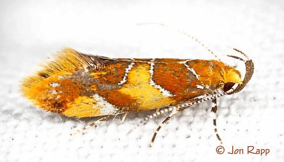 Orange-headed Epicallima - Epicallima argenticinctella