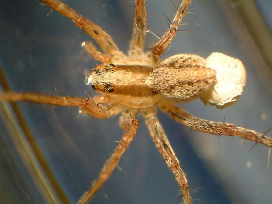 Pardosa distincta--Voucher - Pardosa distincta - female