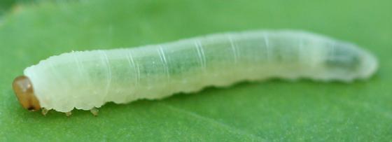Mystery tiny caterpillar - Waldheimia carbonaria