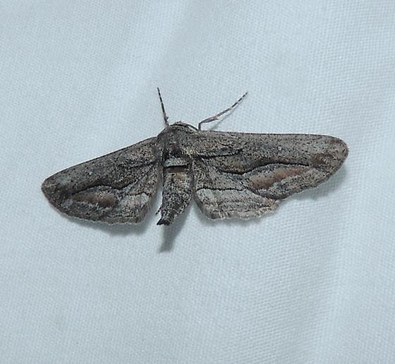unkn moth - Holochroa dissociarius