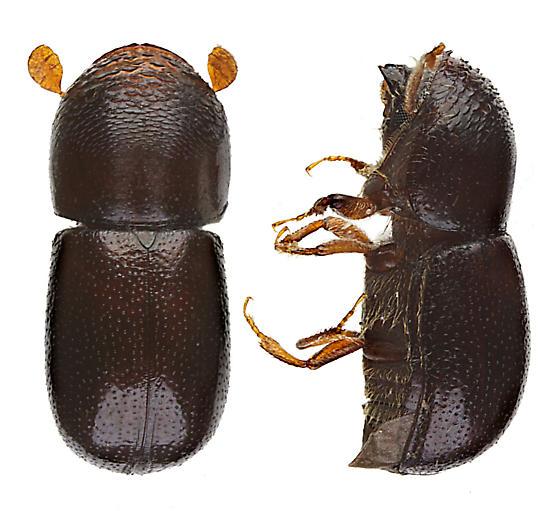 Unknown Scolytid - Corthylus punctatissimus