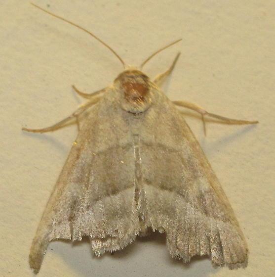 Battered Moth - Ogdoconta moreno