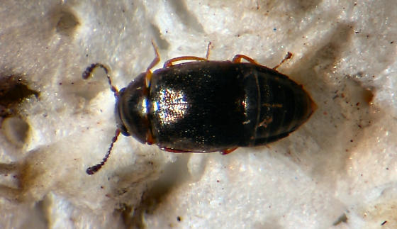 Small Staphlinid - Proteinus