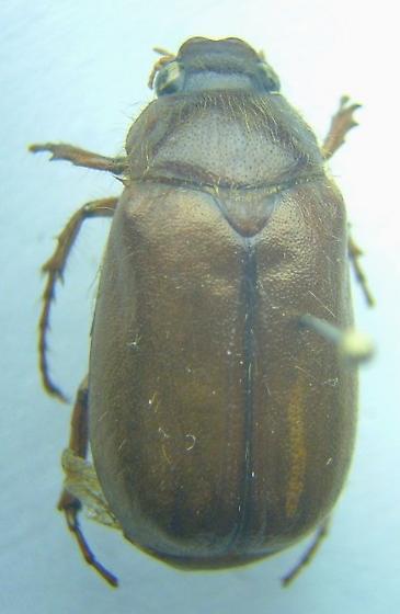 Phyllophaga longispina - male