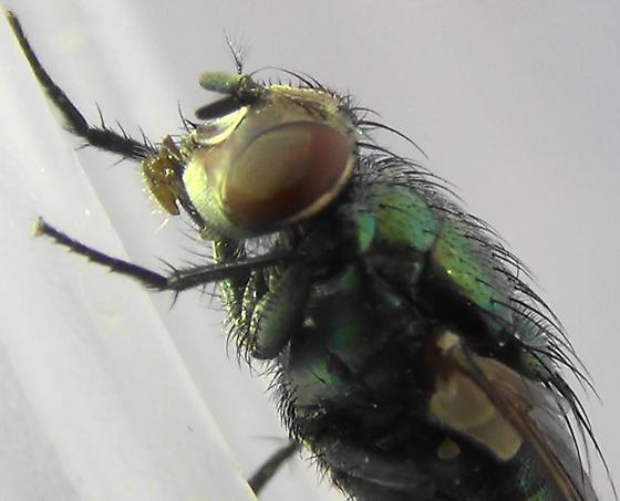 Shiny Green Monster (mouthparts) - Lucilia sericata - female